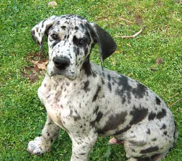 Great Dane Mating With Small Dog