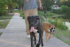 great dane pics