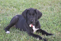 great dane puppy picture
