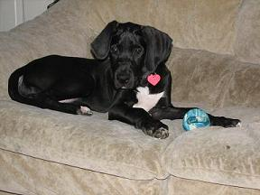 great dane puppy picture1